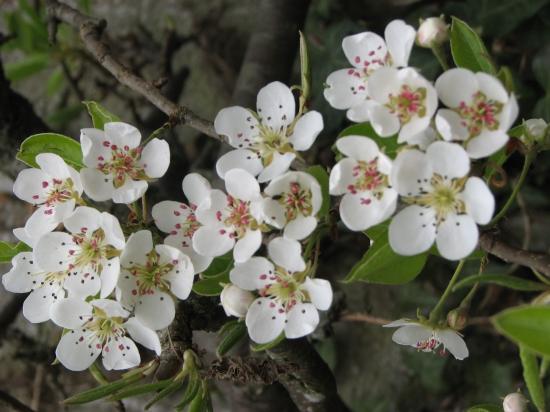 fleursdepoirier.jpg