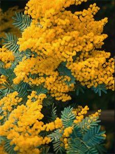 mimosapdm.jpg