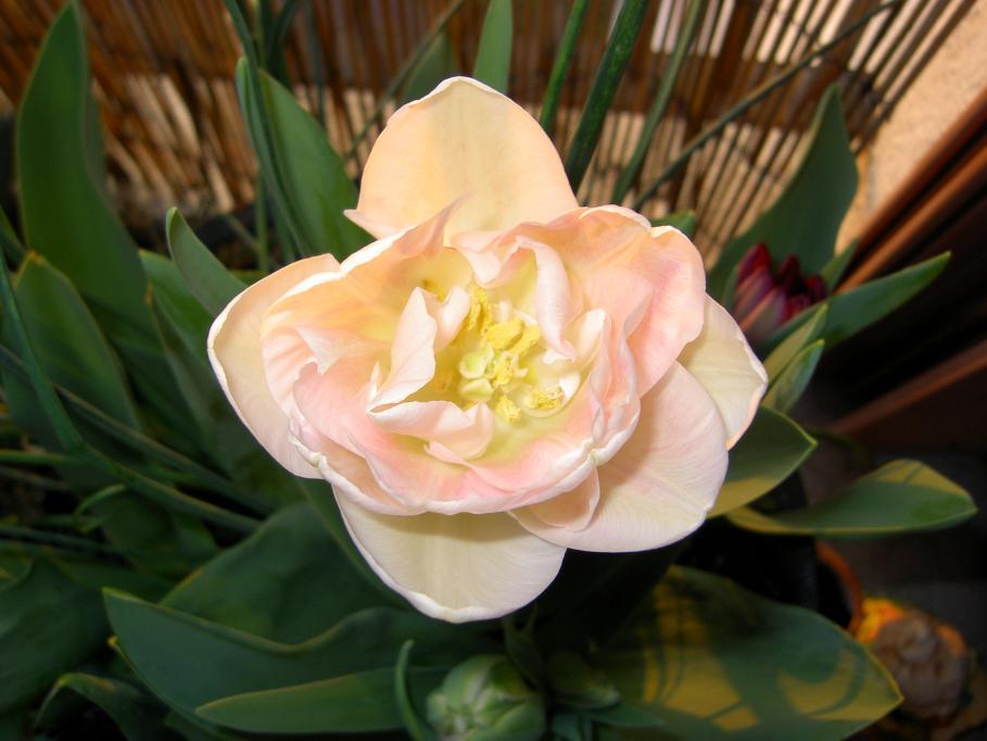 tulipeangelique.jpg