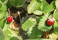 fraisedesbois1.jpg
