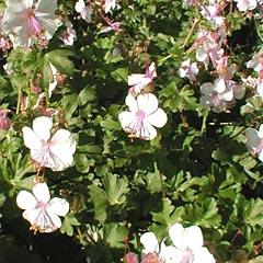 geranium1.jpg