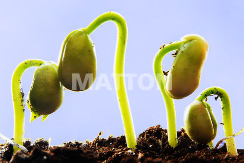 germinationdeharicot.jpg