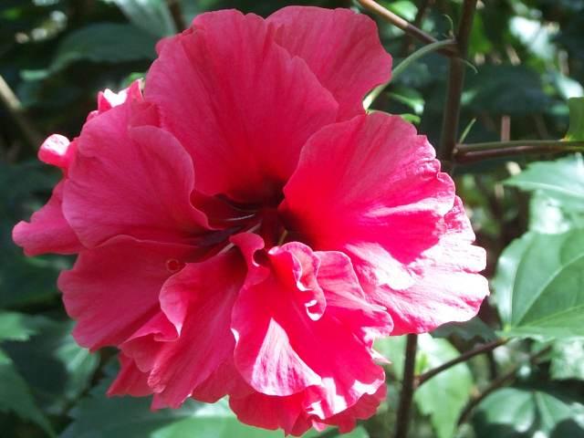 hibiscus12.jpg