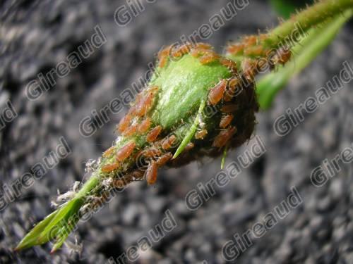 maladeplantepucerons.jpg