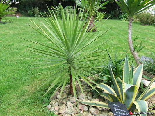 yuccaaloifolia.jpg