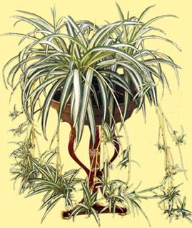 chlorophytumcomosum1.jpg