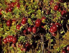lacranberryarticle.jpg