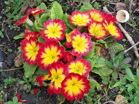 http://eurekasophie.unblog.fr/files/2009/02/primevere.jpg