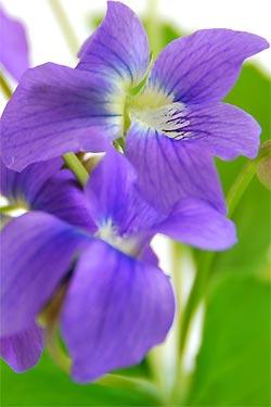 violette3.jpg