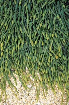algues10.jpg