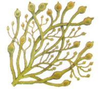 ascophyllum.jpg
