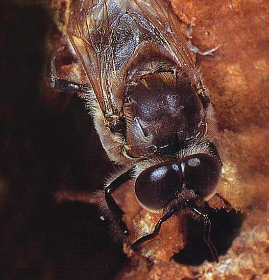 abeillemale.jpg