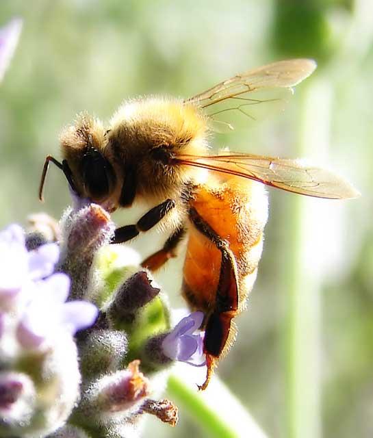 abeilleouvriere2.jpg