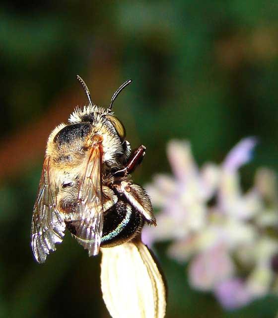 abeillereine2.jpg