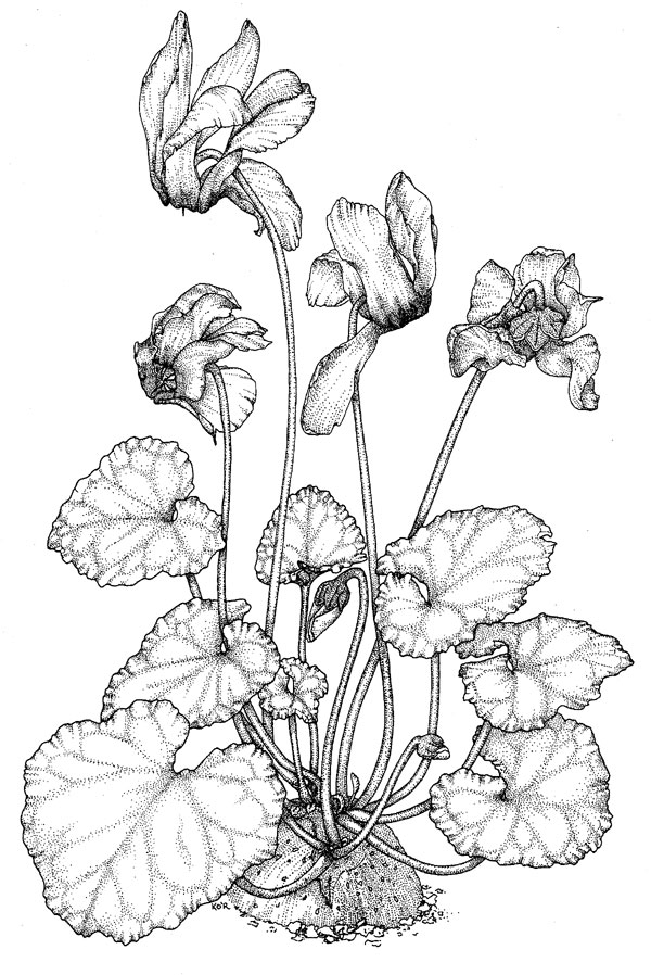 cyclamenpersicum.jpg