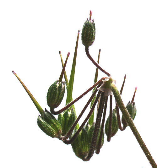 erodium20malacoides20fruits.jpg