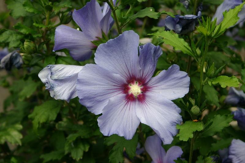 hibiscusmauve.jpg