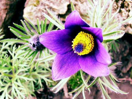 anemone20puls.jpg