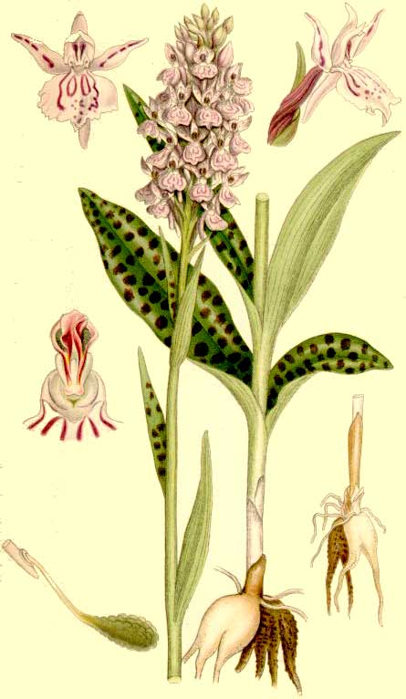 orchis01.jpg