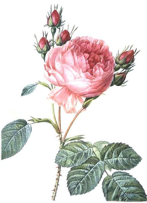 rosacentifolia1.jpg