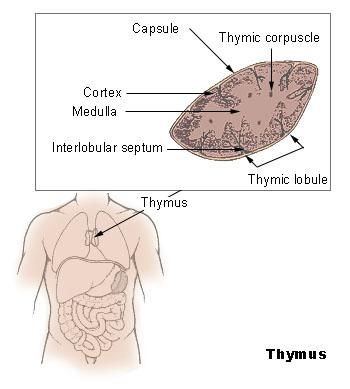 grippeathymus.jpg